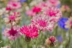 Cornflower dentellare che fiorisce nel giardino Immagini Stock