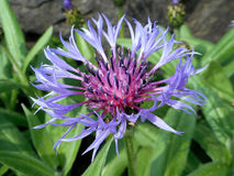 Cornflower. Detail of blossom of light lilac cornflower Royalty Free Stock Photos