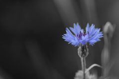Cornflower en noir et blanc Photo stock
