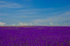Cornflower field Stock Images
