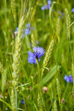 Cornflower in a field. A beautiful cornflower after rain standing bright Royalty Free Stock Photography