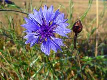 Cornflower in the field Royalty Free Stock Photo