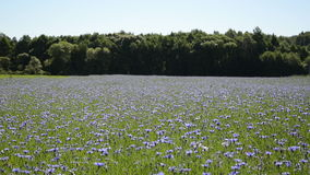 Cornflower field forest Stock Image