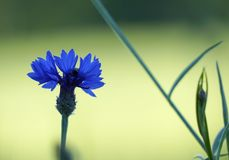 Cornflower in the field. A purple isolated cornflower in a corn field Royalty Free Stock Photo