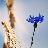 Cornflower in a field Stock Photos