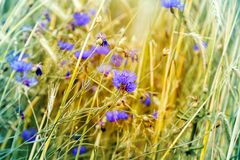 Cornflower flower blooms and wheat ears Royalty Free Stock Photography