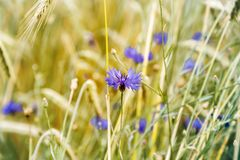 Cornflower flower blooms and wheat ears Royalty Free Stock Photo