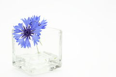 Cornflower in a glass vase Royalty Free Stock Photo