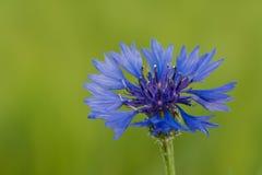 Cornflower on green background. Blue cornflower on green background. Centaurea cyanus stock photos