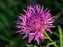 Cornflower grungy Royalty Free Stock Photo