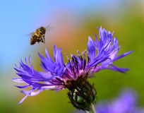 Cornflower head. Centaurea (Cornflower) head with flying bee Stock Photos