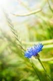 Cornflower im Feldaufbau Lizenzfreie Stockfotografie