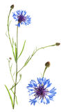Cornflower isolated on white Royalty Free Stock Image