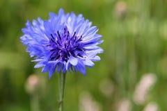 Cornflower royalty free stock photography