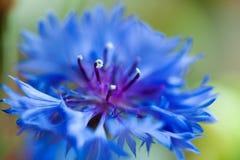 Cornflower macro Stock Photography