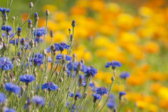 Cornflower and Marigold. Field of blomming blue cornflower and Marigold (calendula) in summer meadow stock images