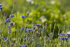 Cornflower in meadow Stock Photography