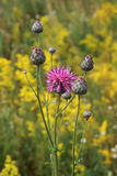 Cornflower meadow Royalty Free Stock Photos