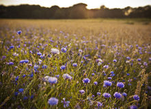 Cornflower meadow in evening light Royalty Free Stock Images