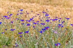 Cornflower meadow in Pasargad Royalty Free Stock Image