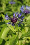 Sentarorea Montana or Vasilek Montana, Cornflower mountain. Cornflower Montana grows in gardens, where it grows best on the sunny side. It is widely distributed Royalty Free Stock Photos