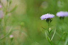 Cornflower in the nature Stock Photography