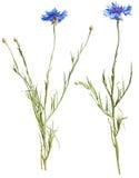 cornflower odizolowywał biel dwa obraz stock