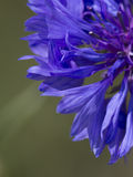 Cornflower. Part of a corn flower Royalty Free Stock Photography