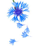 Cornflower petals Royalty Free Stock Images