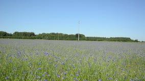 Cornflower pick field Royalty Free Stock Photo