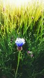 Cornflower. This picure shows a cornflower in a field while summertime Royalty Free Stock Photos