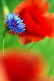 Cornflower and Poppies Royalty Free Stock Photography