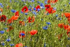 Cornflower and Poppy. Blue cornflower and orange poppy in een grain field Royalty Free Stock Photography