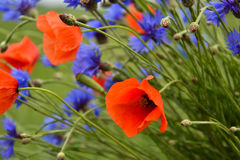 Cornflower and poppy bouquet. A beautiful cornflower and poppy bouquet Royalty Free Stock Photography