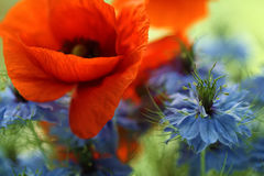 Cornflower and poppy. In the bouquet.Close-up shoot Royalty Free Stock Images