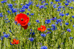 Cornflower and Poppy with Humblebee Stock Image