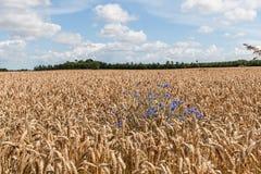 Cornflower among ripe wheat Royalty Free Stock Images