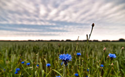 Cornflower sky with. Cornflowers in the field and blue sky Stock Photography