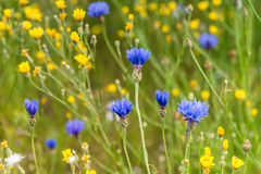 Cornflower sowing. Royalty Free Stock Images