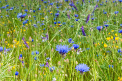 Cornflower sowing. Stock Photo
