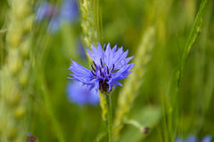 Cornflower standing out. A Beautiful cornflower in field together with rye Royalty Free Stock Images