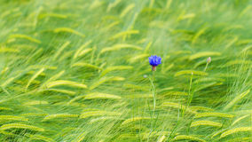 Cornflower Stock Image