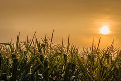 Cornflower Sun. Morning sun rises over the corn in Northern Thailand Stock Photography