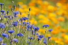 Cornflower und Ringelblume Stockbilder