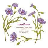 Cornflower vector set Royalty Free Stock Photos