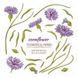 Cornflower vector set Stock Photos