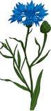 Cornflower. Vektor Lizenzfreies Stockbild
