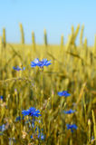 Cornflower at wheat field Stock Image
