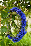 Cornflower wreath in apple tree. A beautiful cornflower wreath is put on an apple tree branch Royalty Free Stock Photo