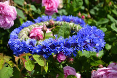 Cornflower wreath in roses. A beautiful cornflower wreath is put in roses Stock Photos